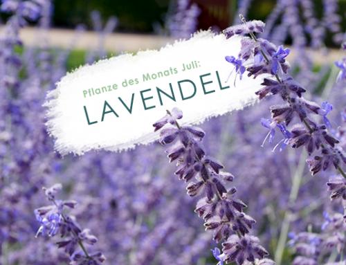 Pflanze des Monats (7/19): Lavendel