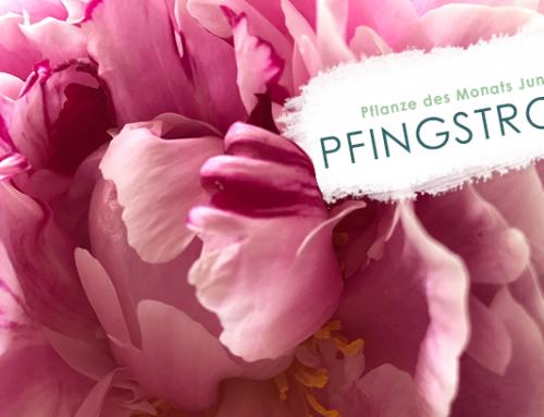Pflanze des Monats (06/19): Pfingstrose
