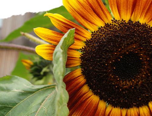 Pflanze des Monats (09/19): Sonnenblume