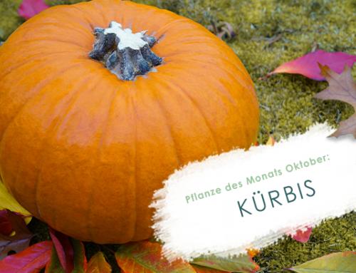 Pflanze des Monats (10/19): Kürbis