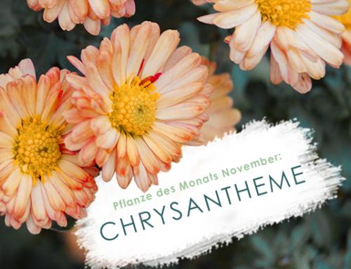 Pflanze des Monats (11/19): Chrysantheme